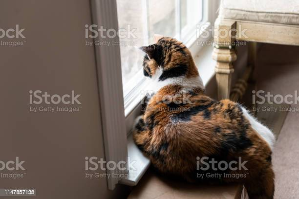 Female calico cat lying down by windowsill indoors in house room out picture id1147857138?b=1&k=6&m=1147857138&s=612x612&h=vhlil23j1zfnkxninqmhnurv 2bq1ohrpq4wbfpu6qu=