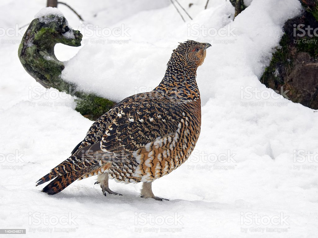 Female capercaillie stock photo