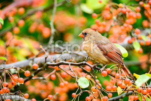 Female Northern cardinal perched in a tree covered with orange berries.  The bird appears to be slightly hidden by the out of focus foliage.