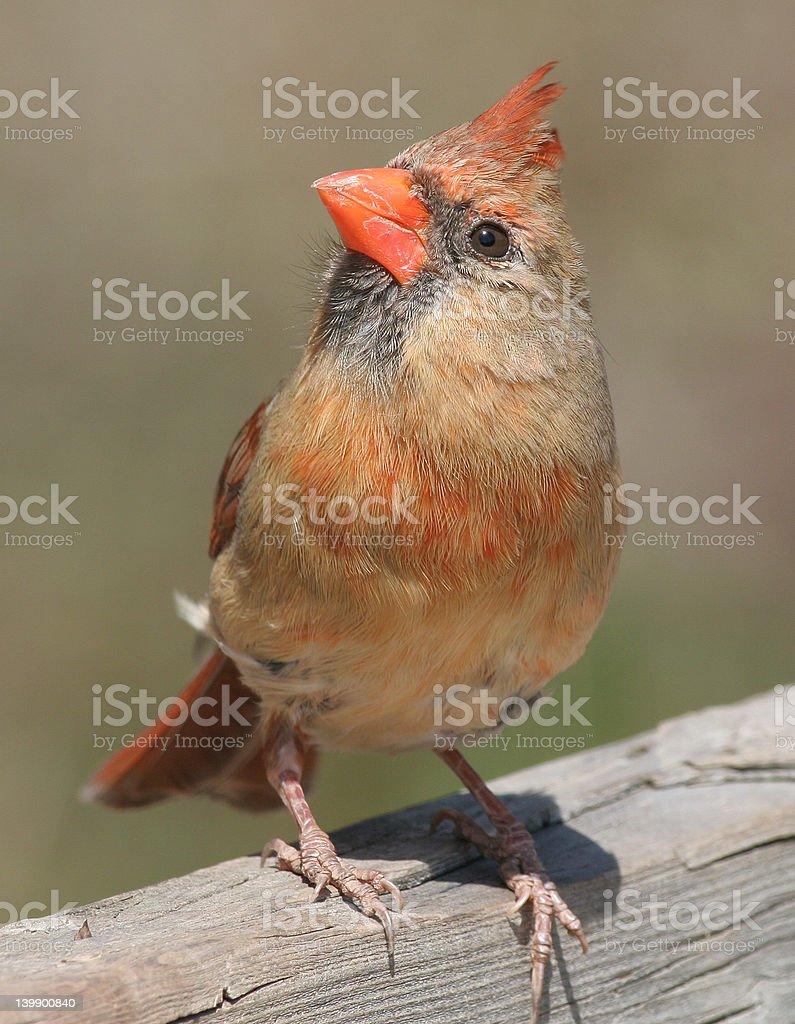 Female Cardinal royalty-free stock photo