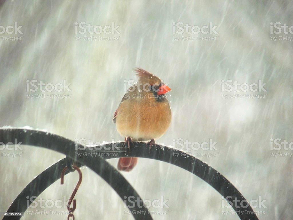 female cardinal red bird in falling snow on garden perch stock