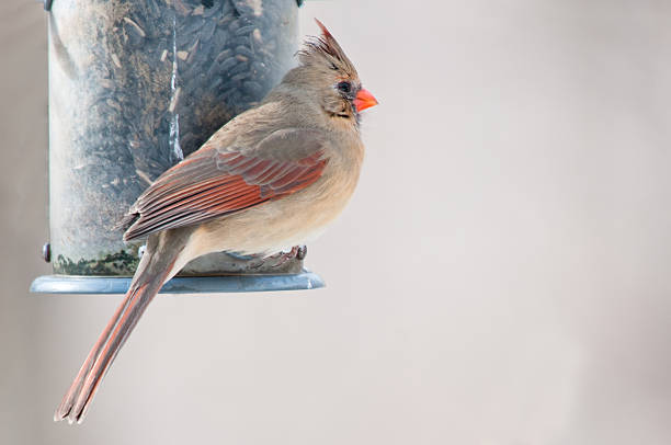 Female cardinal sits on the bird feeder stock photo