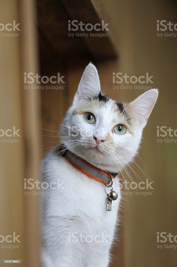Female Cat royalty-free stock photo