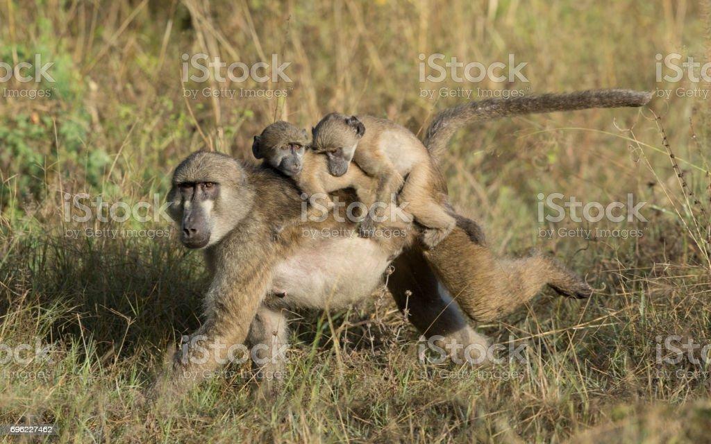 Female Chacma baboon with twins, Botswana stock photo