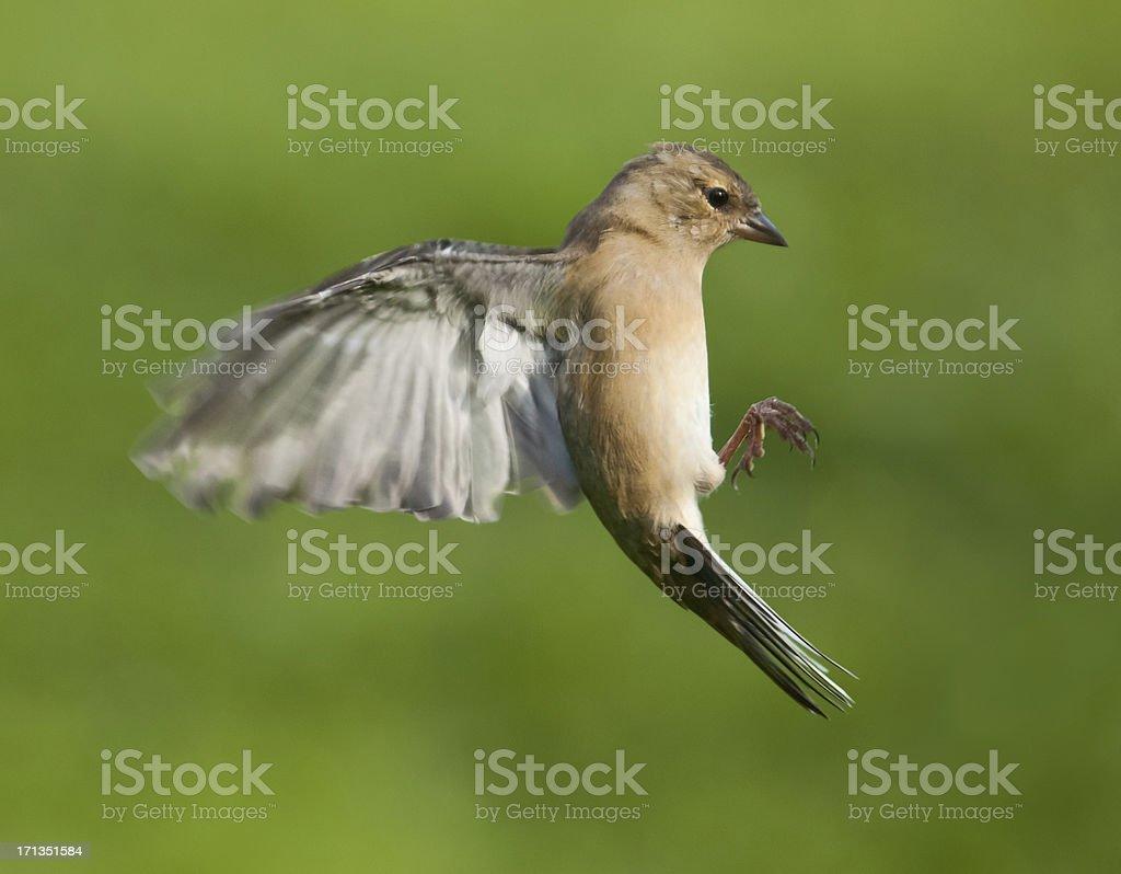 Female Chaffinch (Fringilla coelebs) in flight royalty-free stock photo