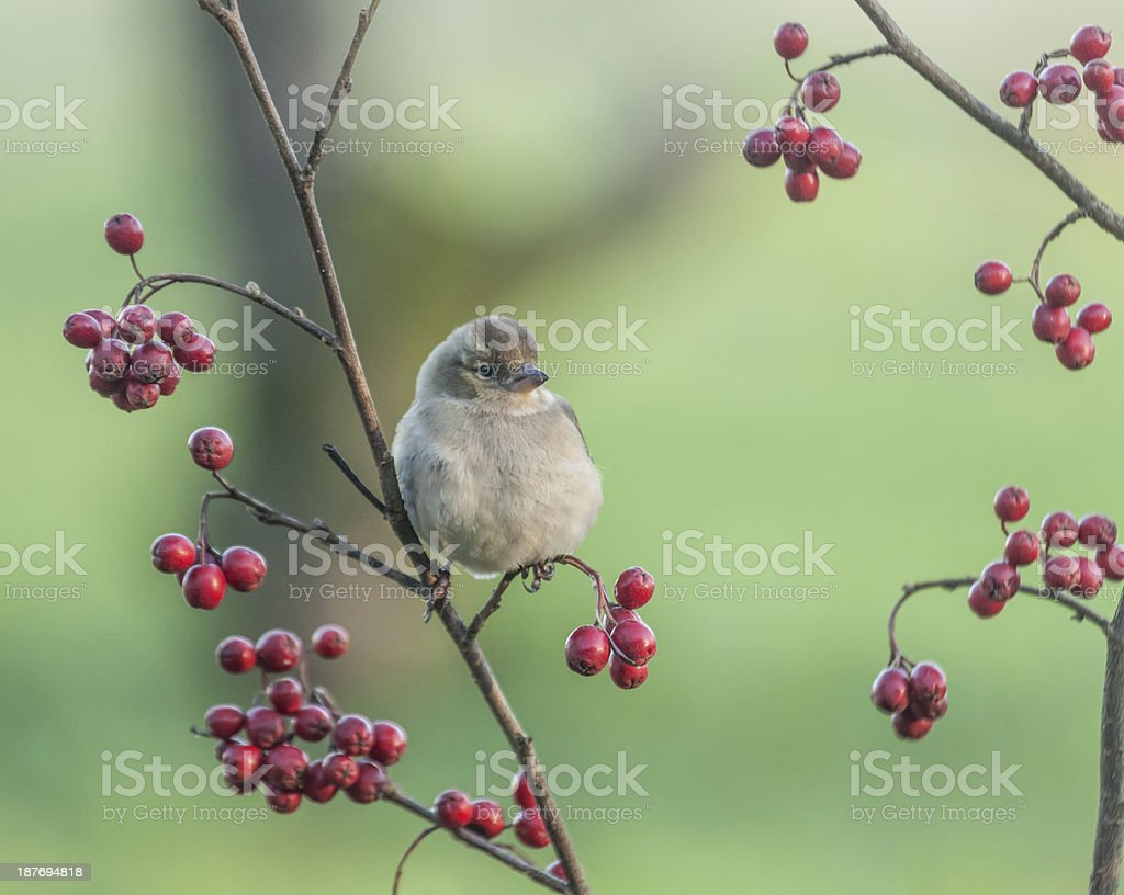 Female Chaffinch (Fringilla coelebs) on a branch with haws stock photo
