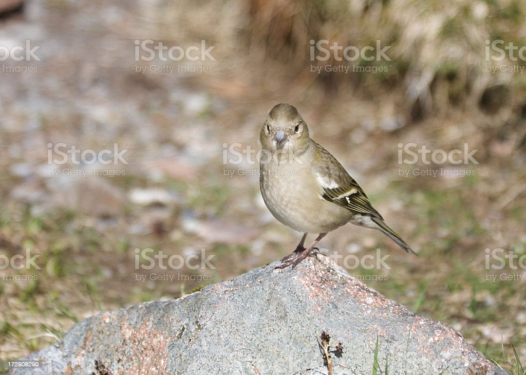 Female Chaffinch On A Rock royalty-free stock photo