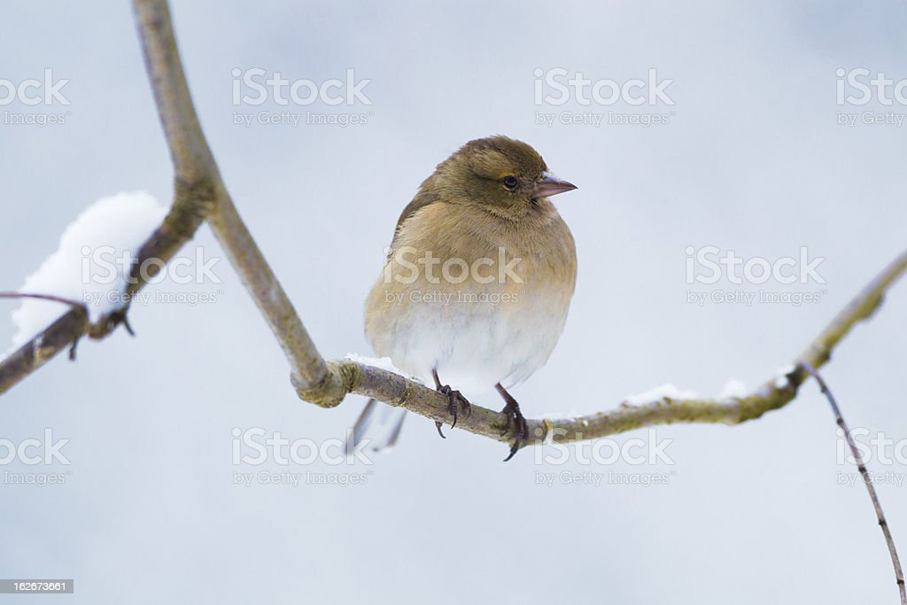 Female Chaffinch royalty-free stock photo