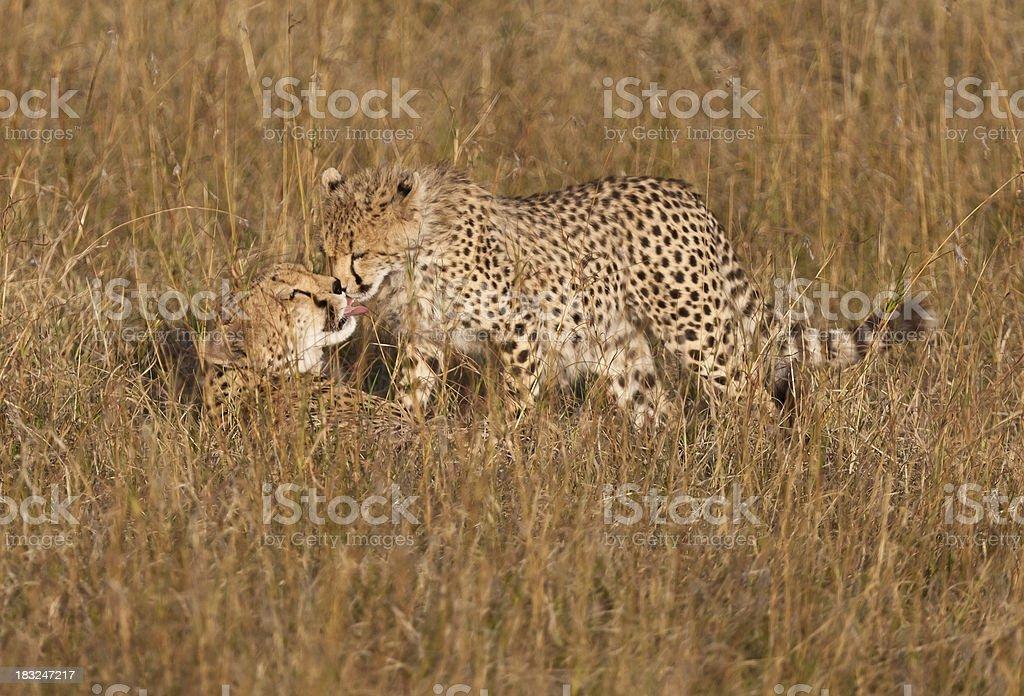 Female Cheetah and Cub in Tall Grass Masai Mara Kenya royalty-free stock photo