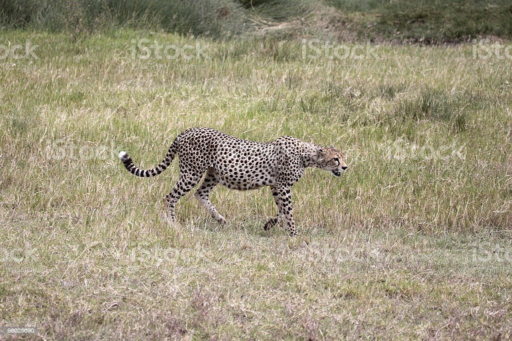 Female Cheetah Heavy With Cubs royalty-free stock photo