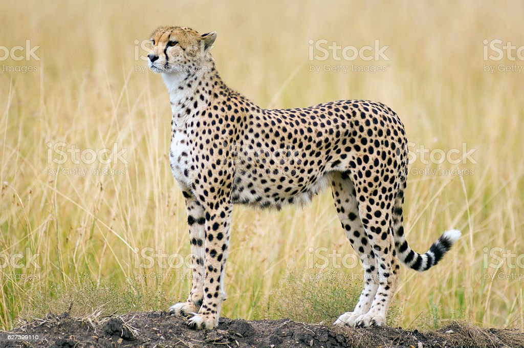 Female Cheetah stock photo