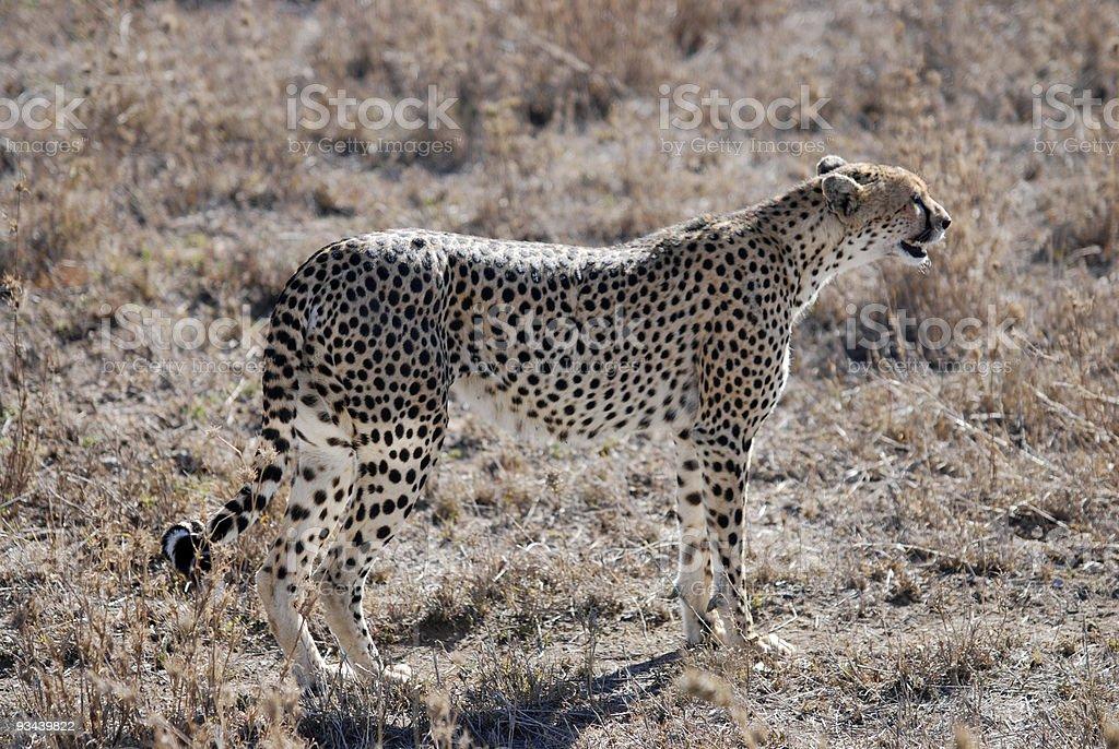 Weibliche Gepard Lizenzfreies stock-foto