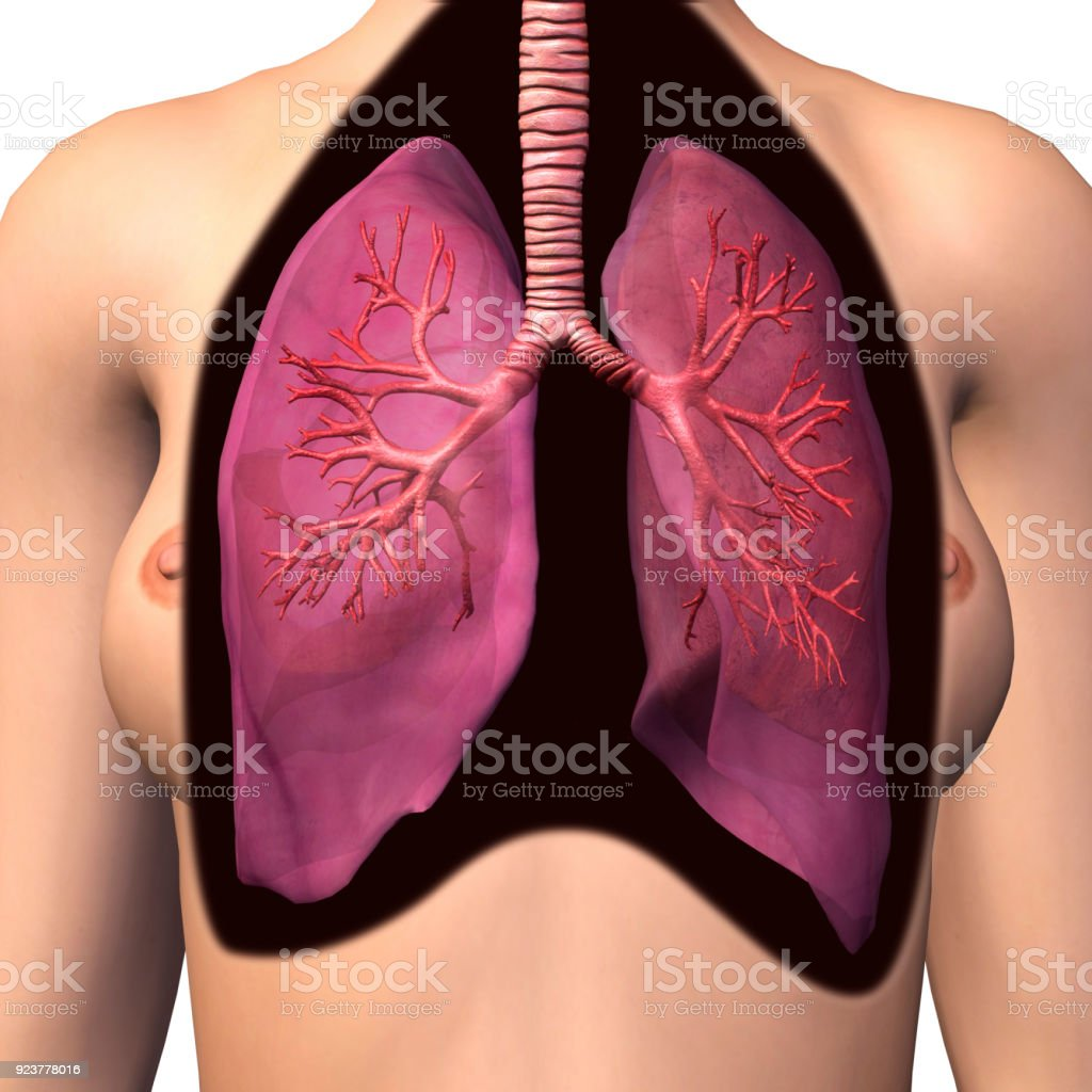 Female Chest Lungs And Bronchial Tree Anatomy Stock Photo & More ...