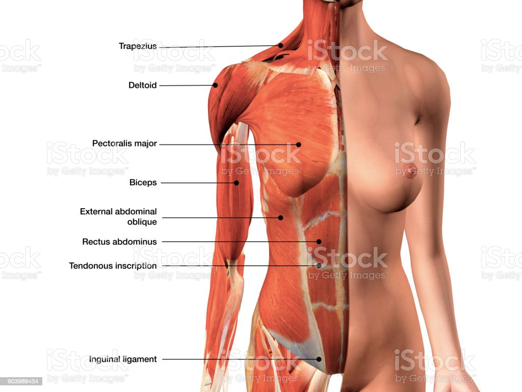 Female Chest Muscles Labeled Front View On White Stock Photo & More ...
