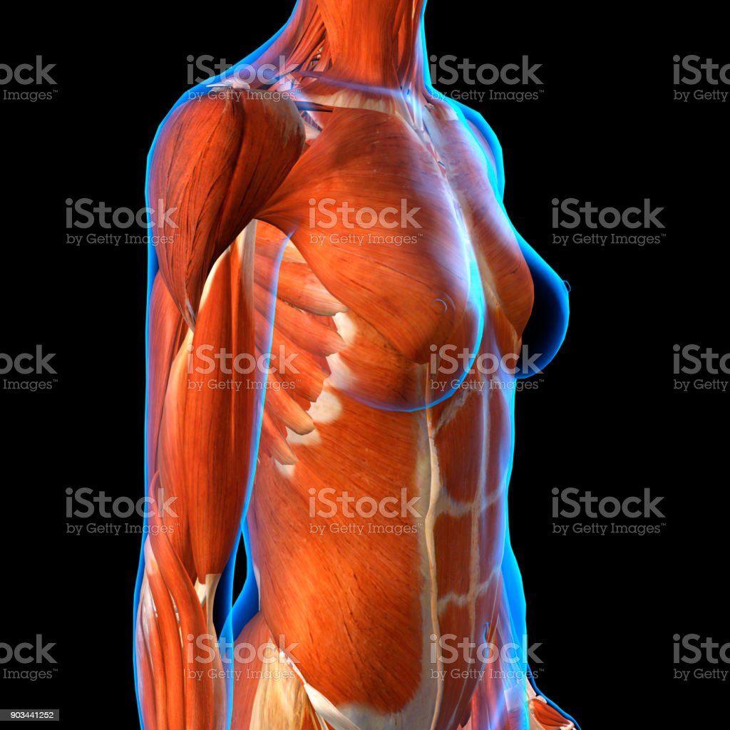 Female Chest Muscles Xray 34 View On Black Stock Photo & More ...