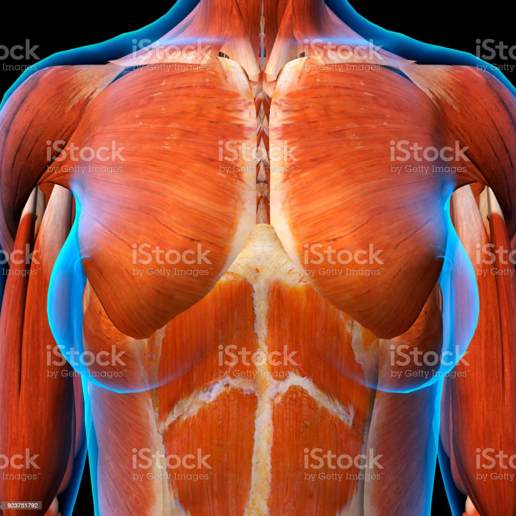 Female Chest Muscles Xray View On Black Stock Photo & More Pictures ...