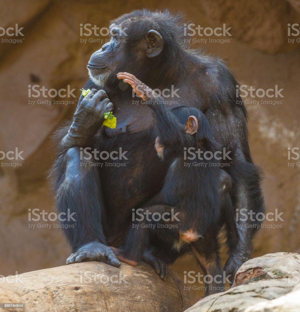 female chimpanzee and cub portrait stock photo