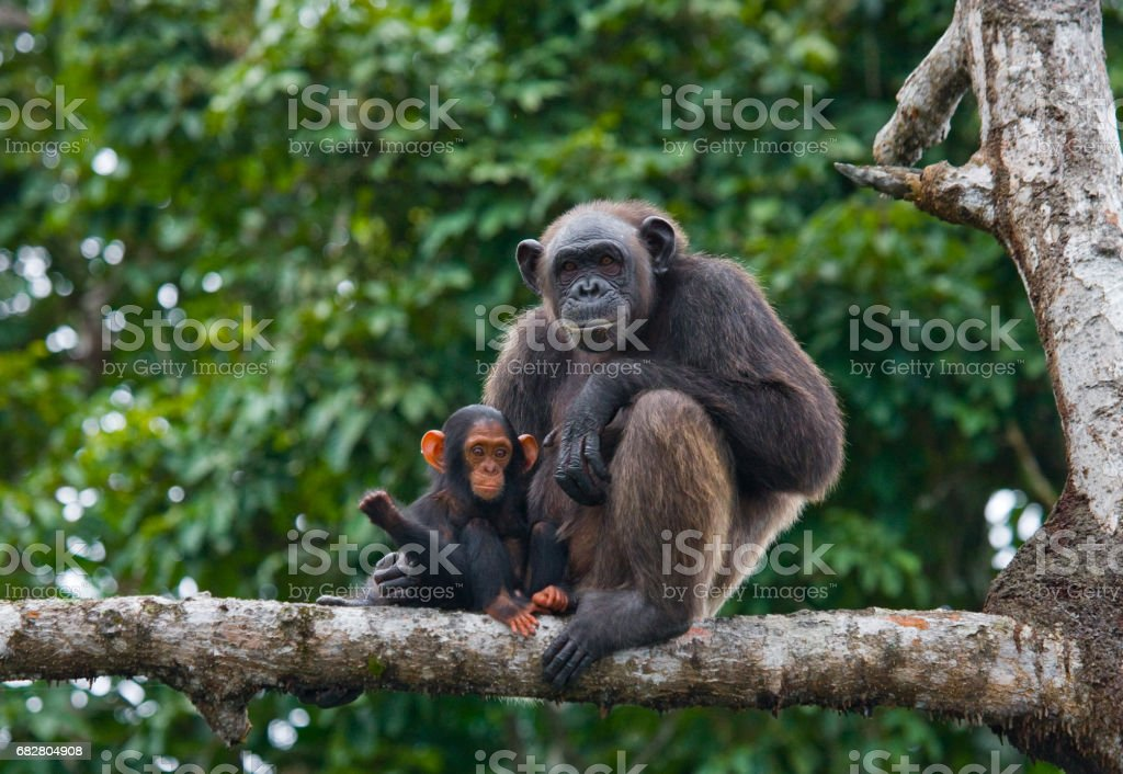 A female chimpanzee with a baby on mangrove trees. stock photo