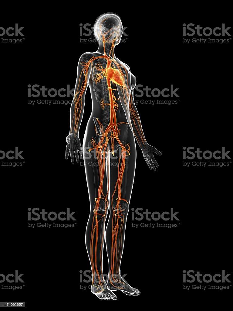 Weibliche Kreislaufganzkörper Stock-Fotografie und mehr Bilder von ...