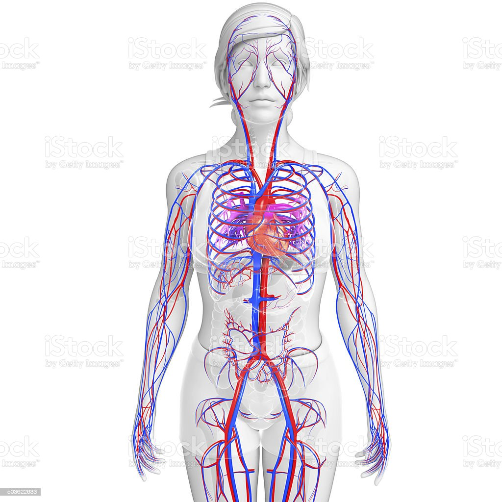 Female Circulatory System Stock Photo More Pictures Of Anatomical