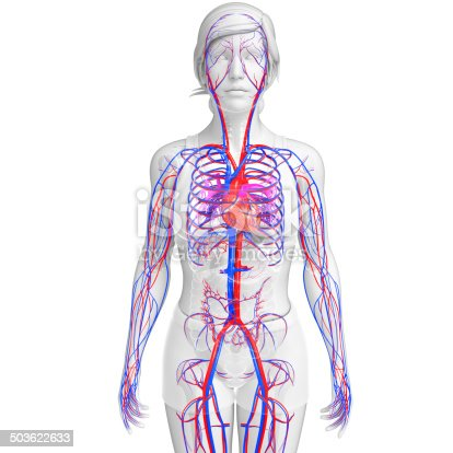 istock Female circulatory system 503622633