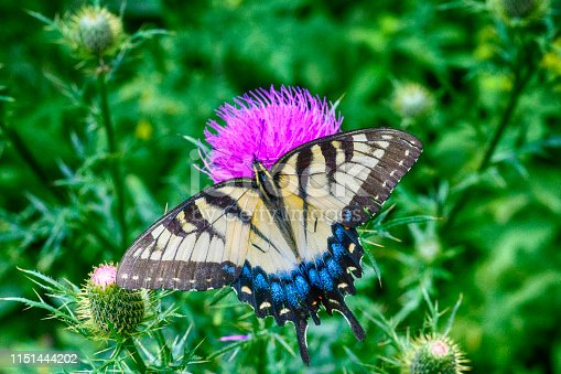 Female Colorful Eastern Swallowtail