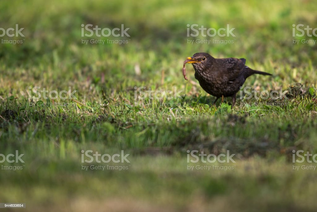 Female Common Blackbird  eating a worm stock photo