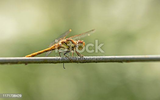 The Common Darter is a small dragonfly that spends long periods perched on vegetation, walls, fences and even garden canes and washing lines. It suddenly darts out from its perch in pursuit of a fly and often returns to the same perch