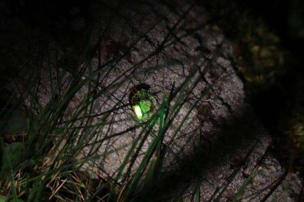 Female common glow-worm on a bark. stock photo