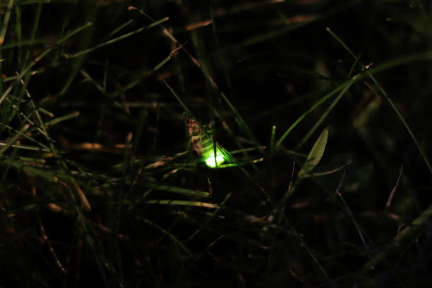 Female common glow-worm on blade of grass. stock photo