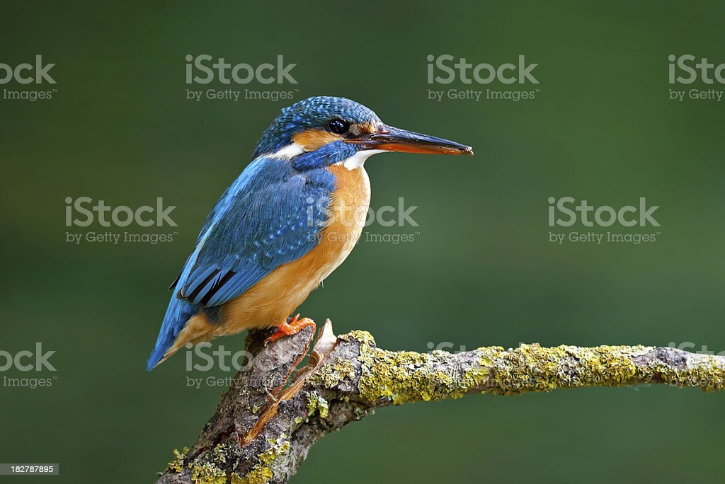 Female Common Kingfisher ( Alcedo atthis) royalty-free stock photo