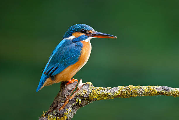 Female Common Kingfisher ( Alcedo atthis) Beautiful female Common Kingfisher ( Alcedo atthis). Canon 5D Mark II and 4. 500mm L IS. kingfisher stock pictures, royalty-free photos & images