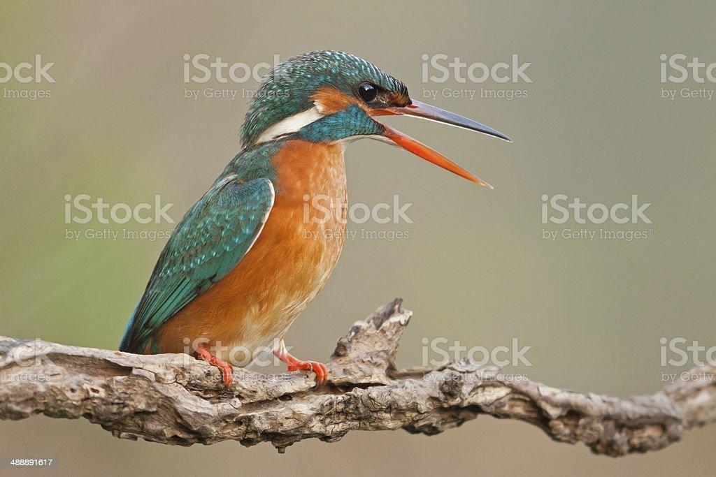 Female Common kingfisher royalty-free stock photo