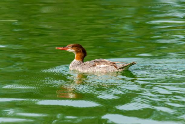 Female Common Merganser Swimming stock photo