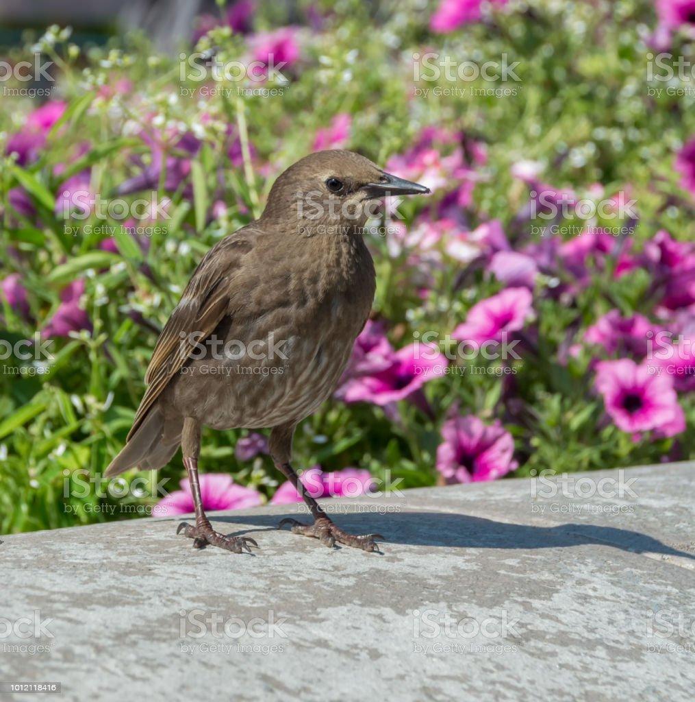 Female Common Starling Sturnus Vulgaris Walking In Garden Pink