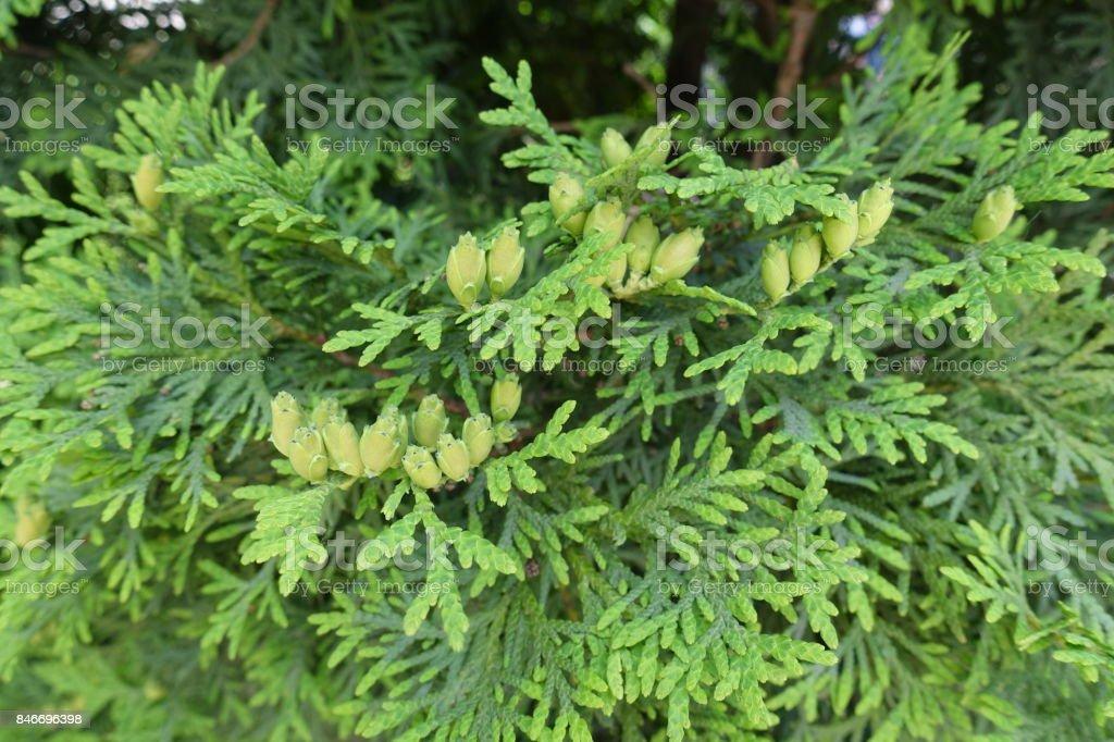 Female cones of false white cedar in june stock photo