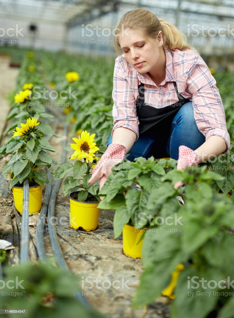 Female worker controlling quality of decorative sunflowers in...