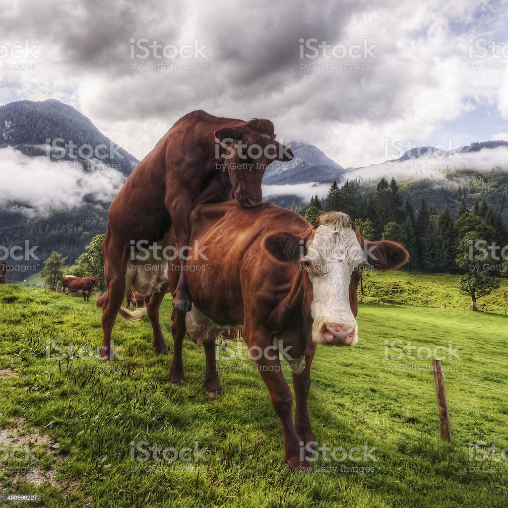 Female Cows Bulling stock photo