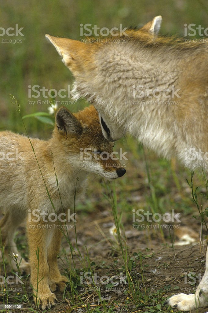 Female Coyote Teaching Her Pup to Obey royalty-free stock photo