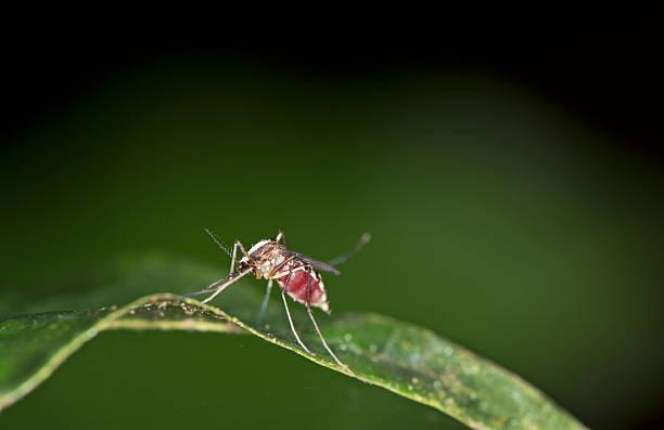 Weibliche Culicidae mosquitoe – Foto