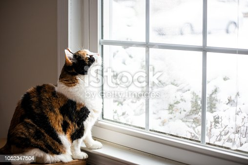 Female, cute calico cat on windowsill window sill looking up at birds staring through glass outside with winter snow