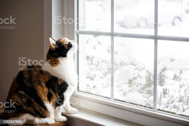 Female cute calico cat on windowsill window sill looking up at birds picture id1052347504?b=1&k=6&m=1052347504&s=612x612&h=lelfsyxibud1rsyqxq7fa8 u8bzv uhbd1ujqrtjdk8=