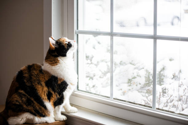 female, cute calico cat on windowsill window sill looking up at birds staring through glass outside with winter snow - котик яркий стоковые фото и изображения