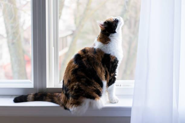 Female cute calico cat on windowsill window sill looking up staring picture id960928070?b=1&k=6&m=960928070&s=612x612&w=0&h=seoiv1mvplqqlkrhojaxkhaszq4zngmy16f3ulfmklu=