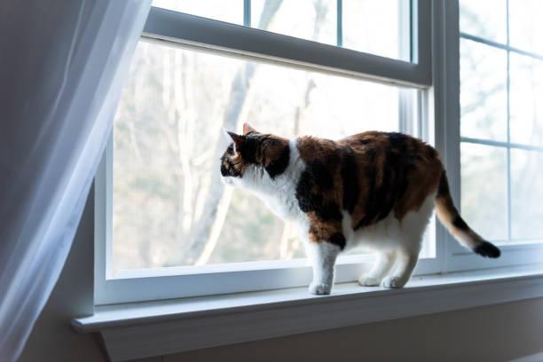 Female cute one calico cat closeup of face standing on windowsill picture id1053194710?b=1&k=6&m=1053194710&s=612x612&w=0&h=iv7vhnpiuymprntbbrkqeo 4vdnnhqnze wzpqfxjrq=