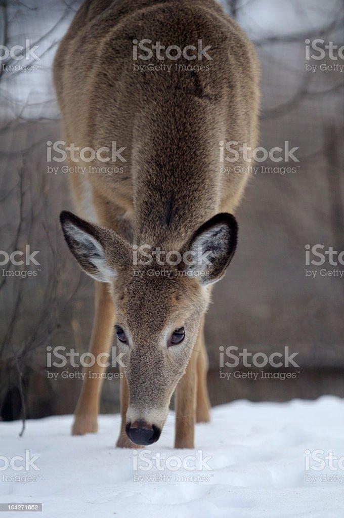 Weibliche Deer – Foto