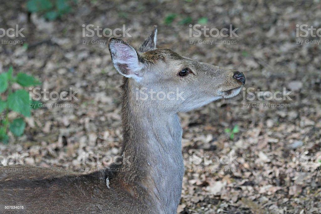 Weibliches Rotwild stock photo