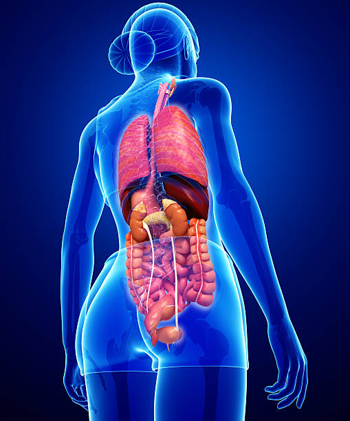 Female digestive system artwork stock photo