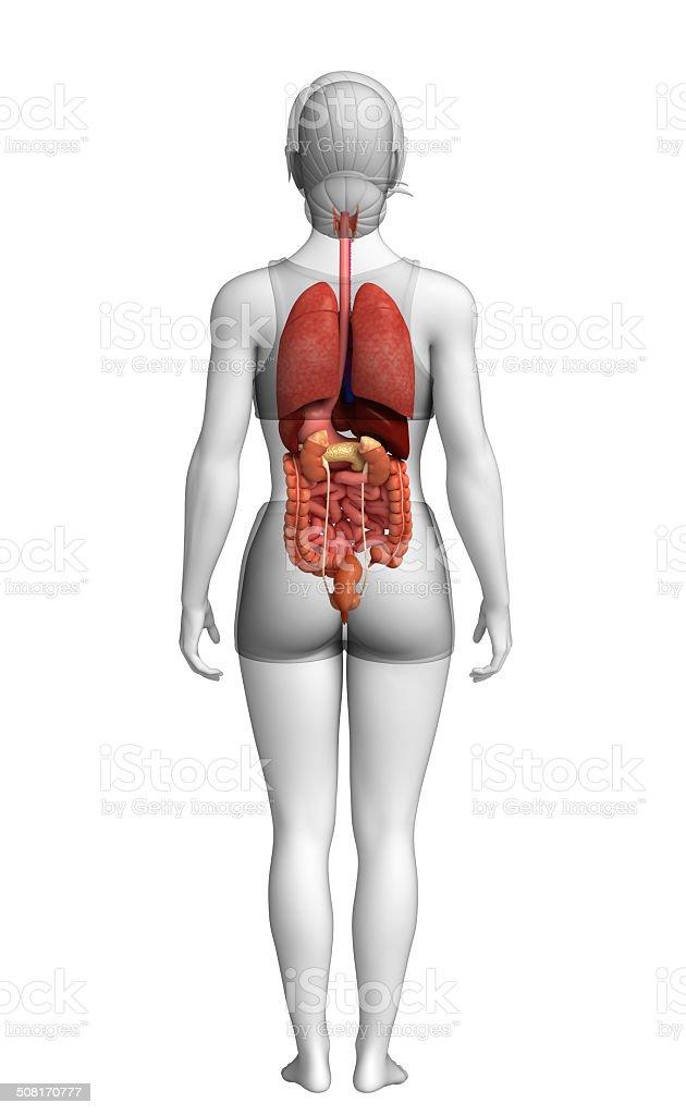 sistema digestivo feminino desenho fotografias de stock e mais