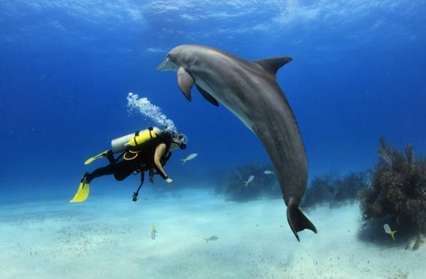 Female diver playing with dolphin stock photo